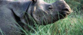 चितवन राष्ट्रिय निकुञ्जमा दुई गैँडा मृत फेला